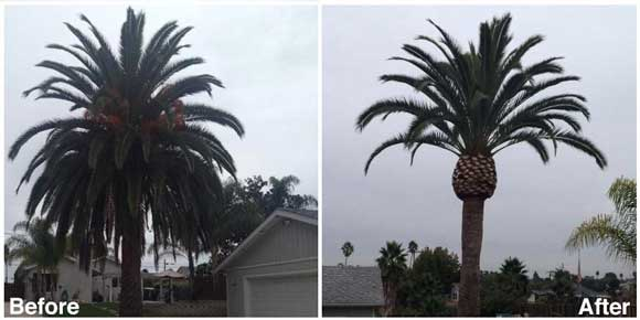 San Diego Tree Pruning