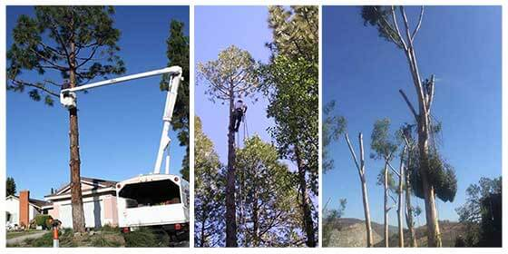 Tree Trimming San Diego and Tree Pruning in San Diego